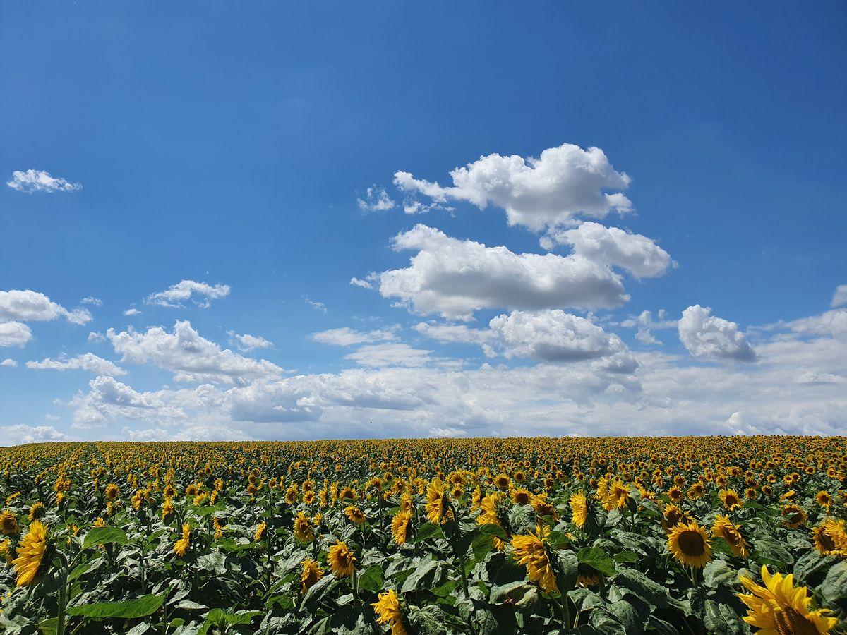Sonnenblumenfeld Nähe Flughafen Wien