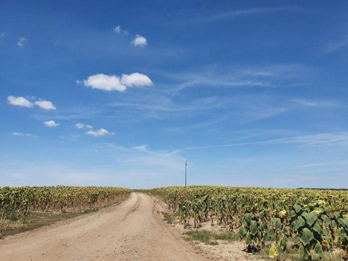 Sonnenblumenfeld östlich von Gara