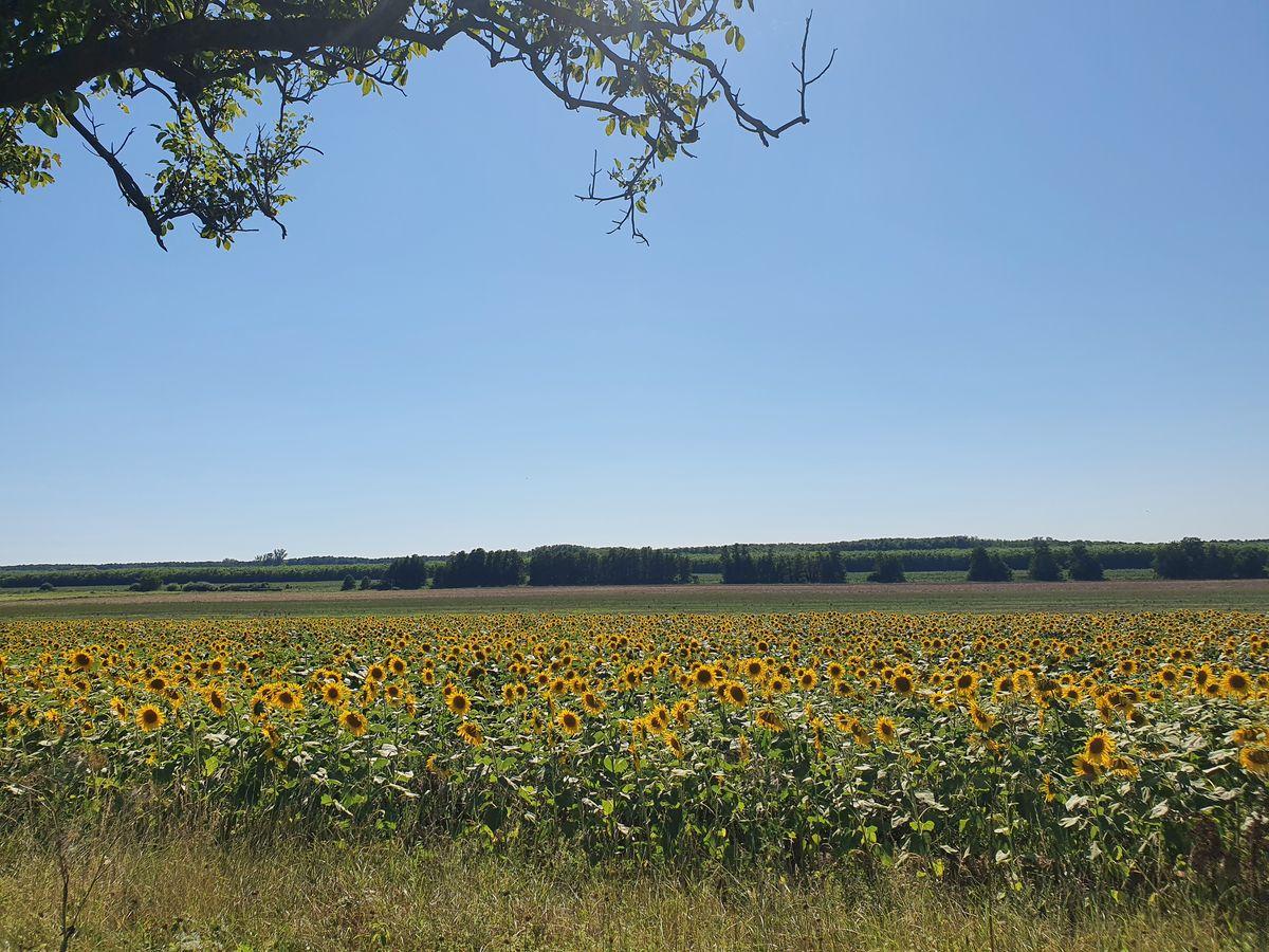 Sonnenblumenfeld bei Kadarkút