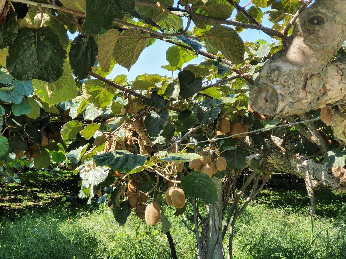 Kiwiplantage bei Nea Efesos