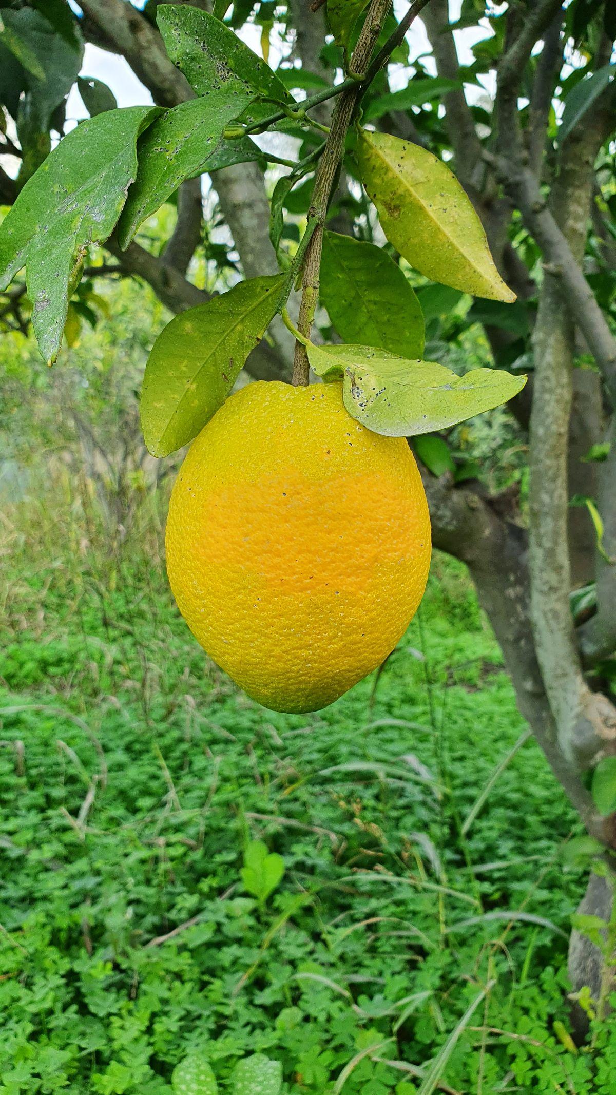 Kreta - Lockdown in Kamilari - lecker Orangen 2