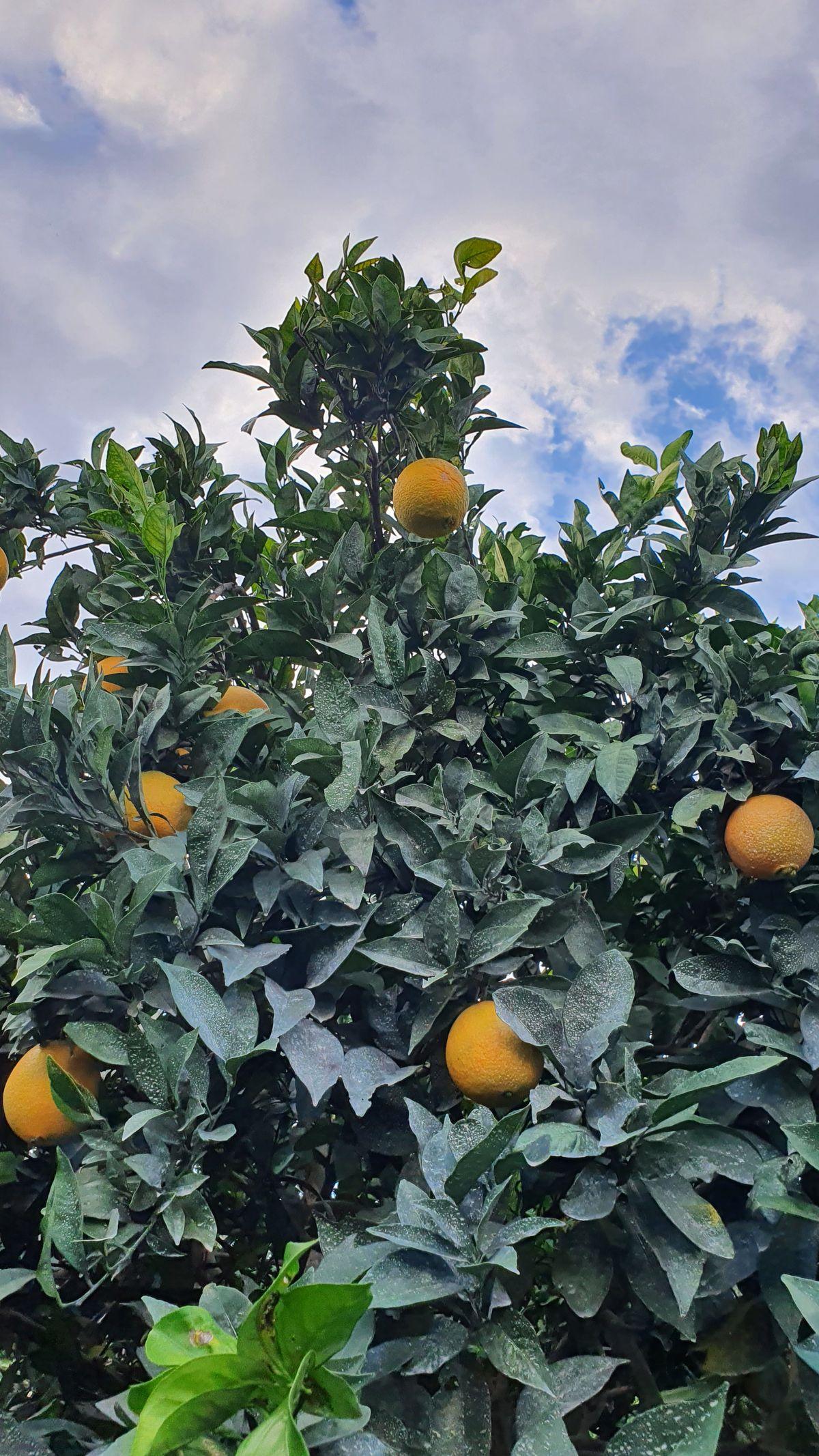 Kreta - Lockdown in Kamilari - lecker Orangen