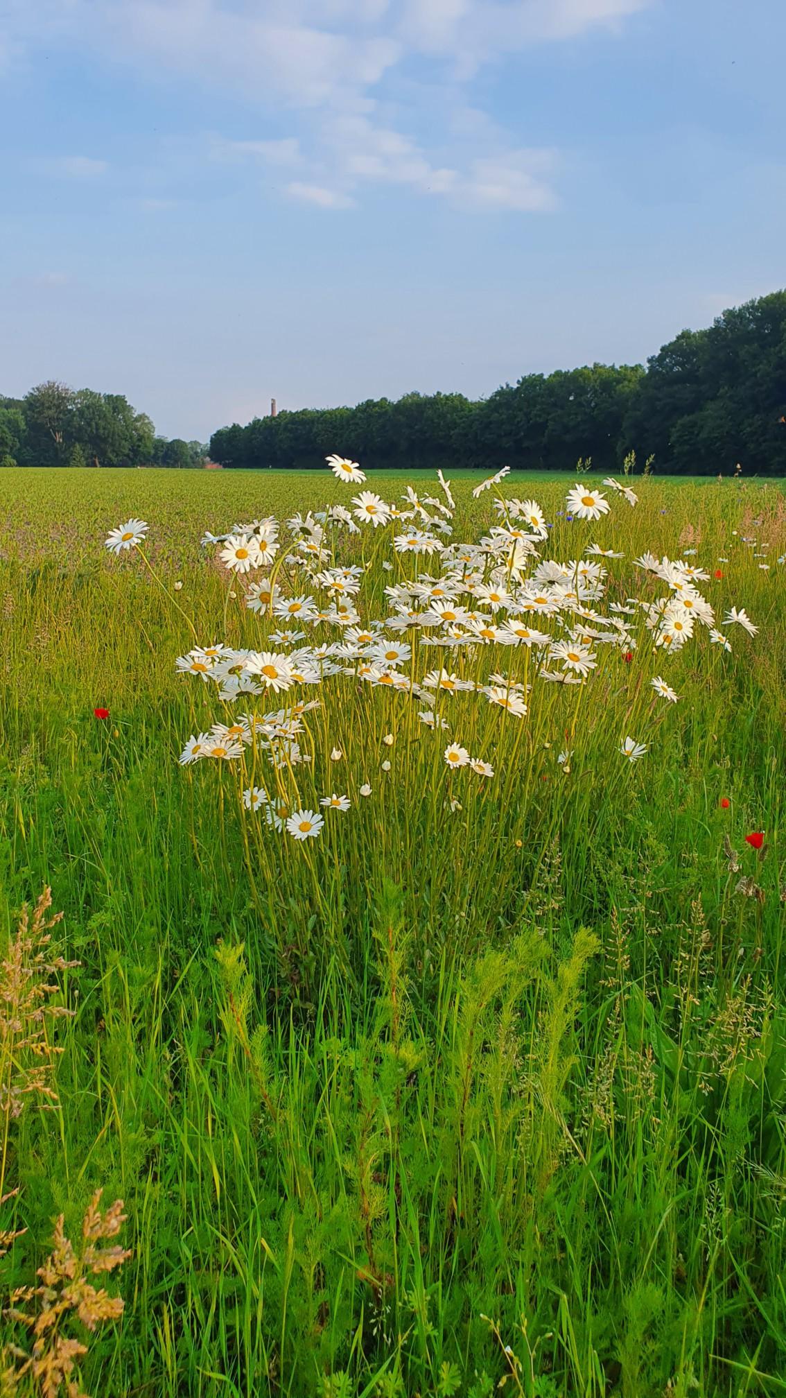 Blumen bei Rheine