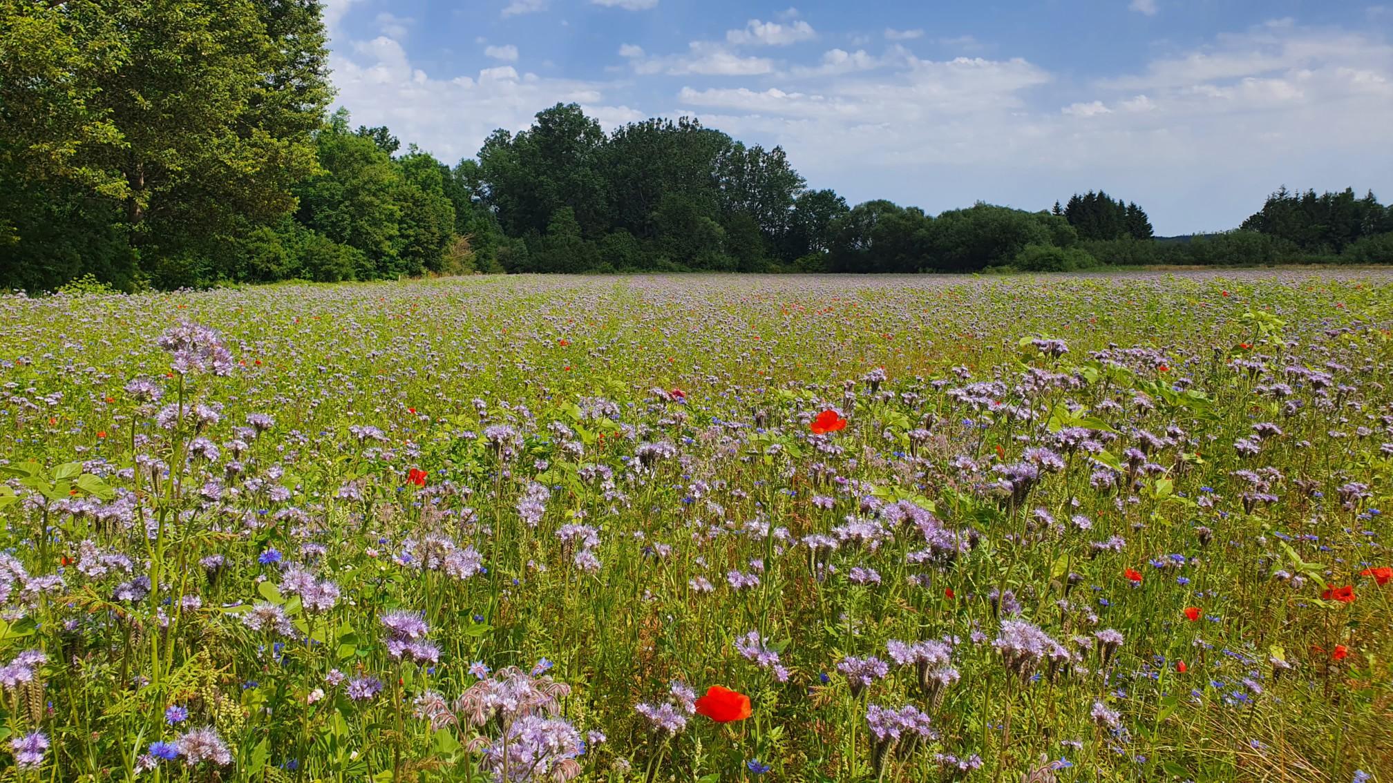 Blumenwiese bei Herbertingen